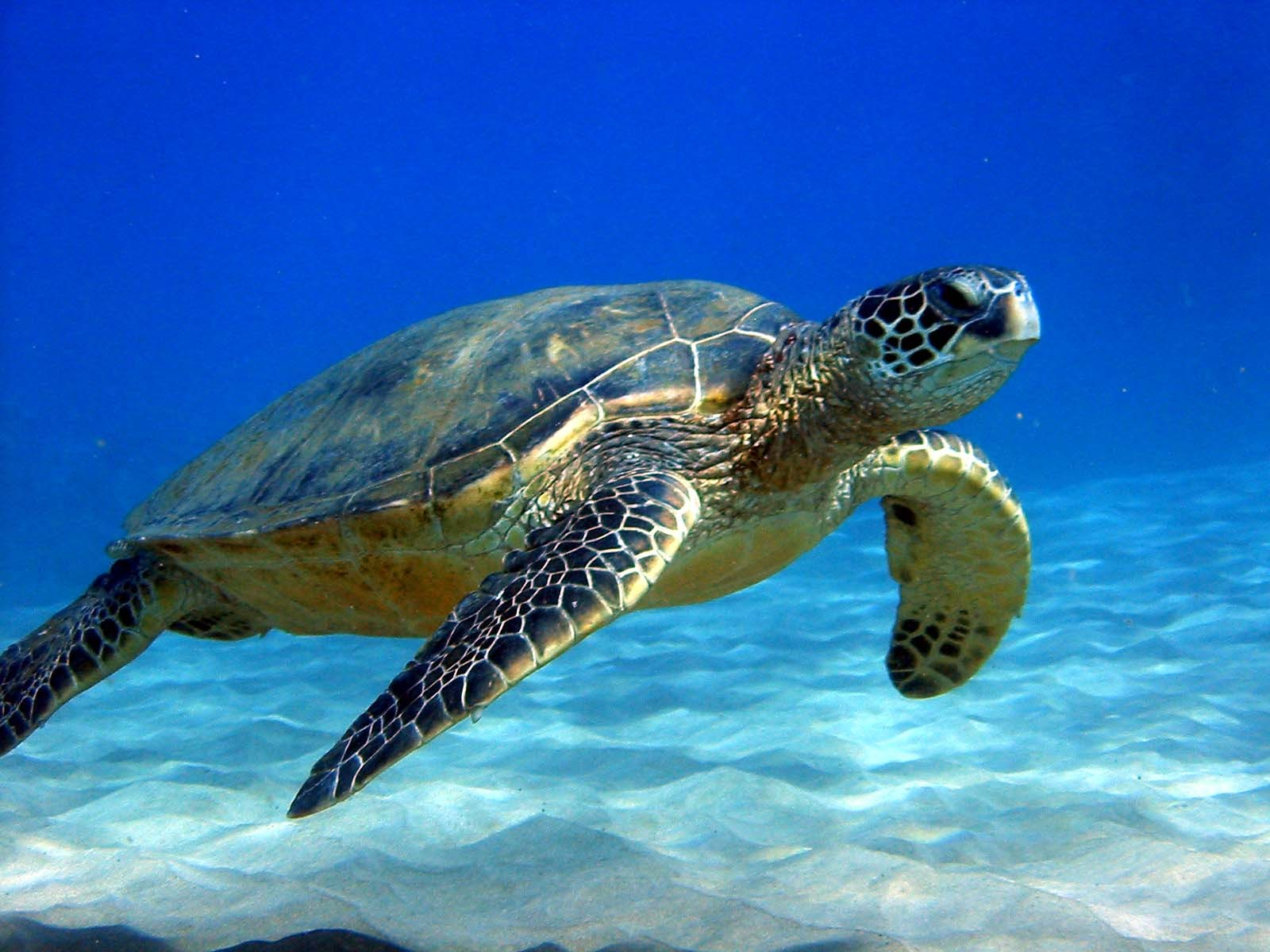 There are at least two types of sea turtles found in the Steps and ...